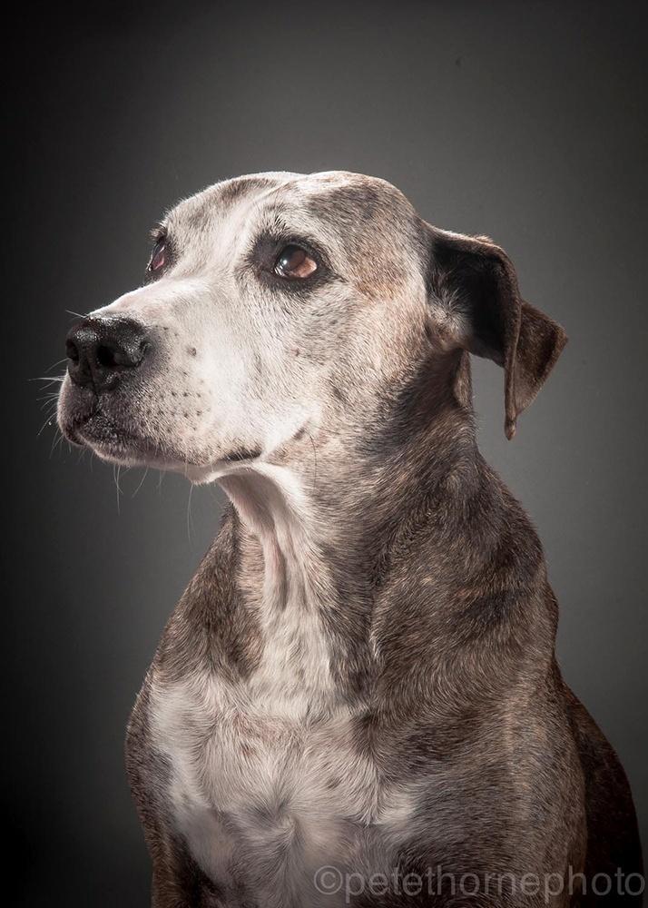 """4.nov.2014 - Bodley é um mestiço de boxer com Staffordshire terrier e tem cerca de 12 anos de idade. Segundo sua dona Tiffany, ele havia sido abandonado e era """"puro osso"""", quando foi encontrado pelos voluntários do abrigo. """"Apesar dos avisos de que Bodley não gostava de homens e iria destruir meu apartamento, eu decidi ignorar os conselhos e o trouxe para casa há quase 10 anos. Quer saber? Ele adora homens, adora ficar no sofá e ama biscoitos assados (que eu tenho de manter trancados no armário, pois ele aprendeu a abrir portas e alcançar potes no alto só para comer guloseimas). Agora que ele está mais velho, já não persegue esquilos e a artrite limitou sua flexibilidade, mas não seu entusiasmo por passeios"""""""