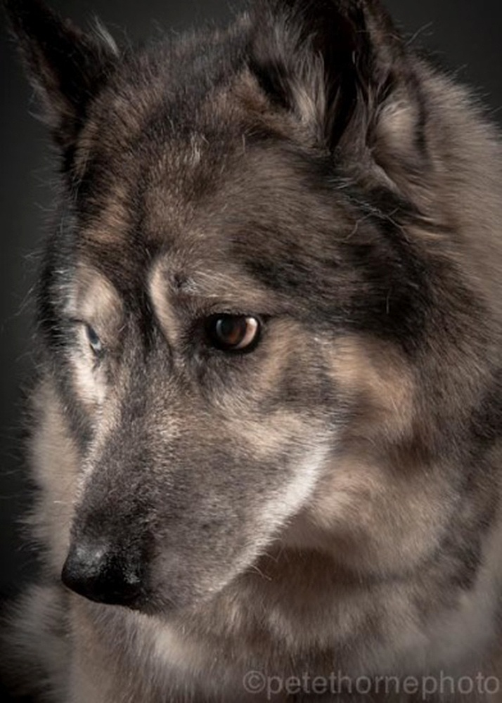 """4.nov.2014 - Maximus é um mestiço de elkhound norueguês e husky siberiano com 15 anos de idade. Ao ver as fotos tiradas por Pete Thorne para a série """"Velho e Fiel"""", sua dona se emocionou ao pensar no quanto amava aquele cachorro"""