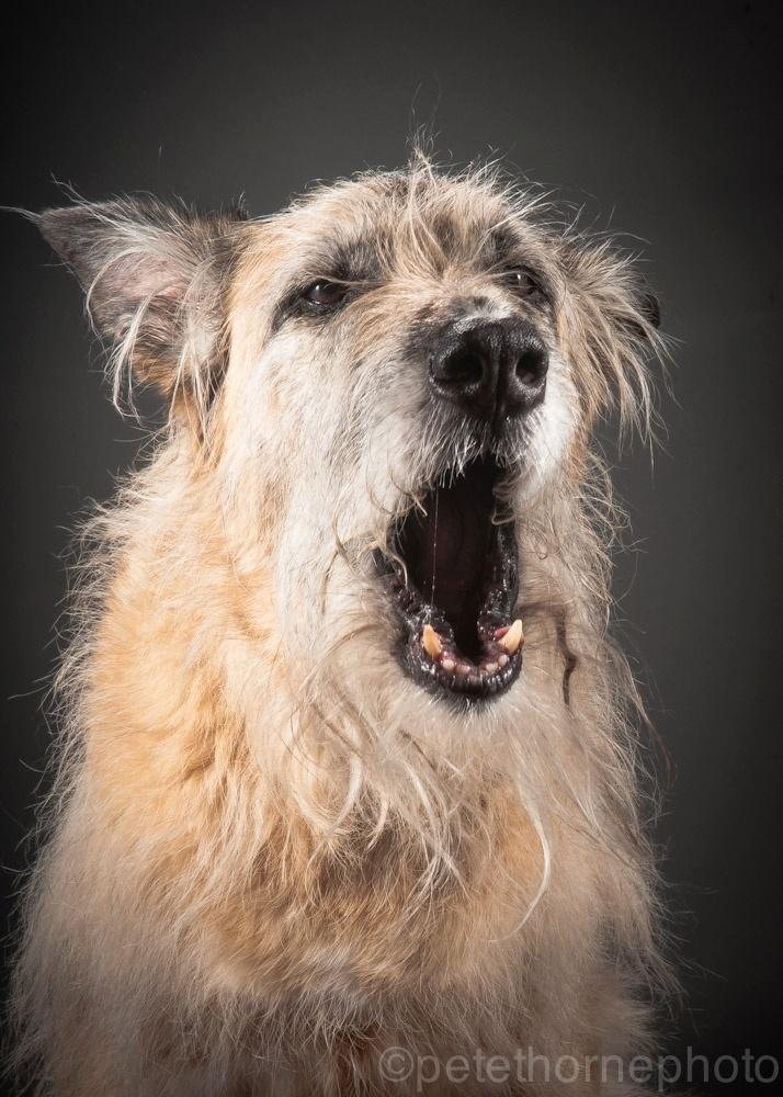 4.nov.2014 - Emmy é uma mestiça de wolfhound com 14 anos de idade. Ao entrar no estúdio para fazer sua foto, ela ficou tão animada que chegou a fazer cocô no sapato do assistente do fotógrafo Pete Thorne