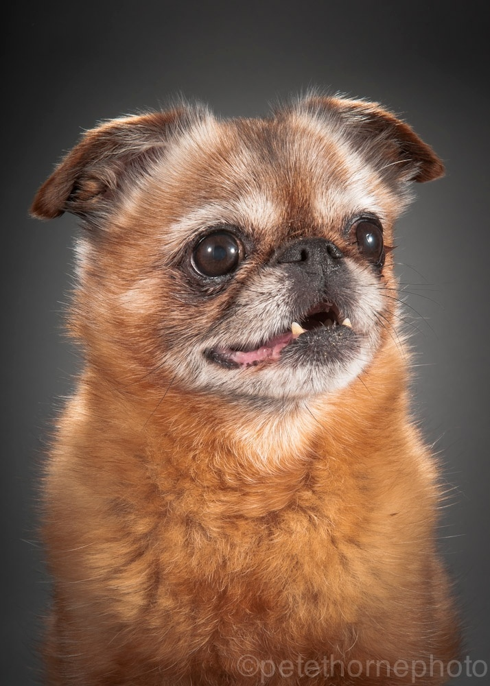 4.nov.2014 - Finnegan é um cachorro com 12 anos e meio de pelo avermelhado (o dono não sabe bem se ele é um griffon de Bruxelas de pelo macio ou petit Brabançon). Pequeno e roliço, ele atendia por outro nome quando vivia em Montreal, Finni le Poo. Com problema de sopro no coração e já sem vários dentes, mesmo assim é um cão alegre que faz a alegria de seus companheiros humanos