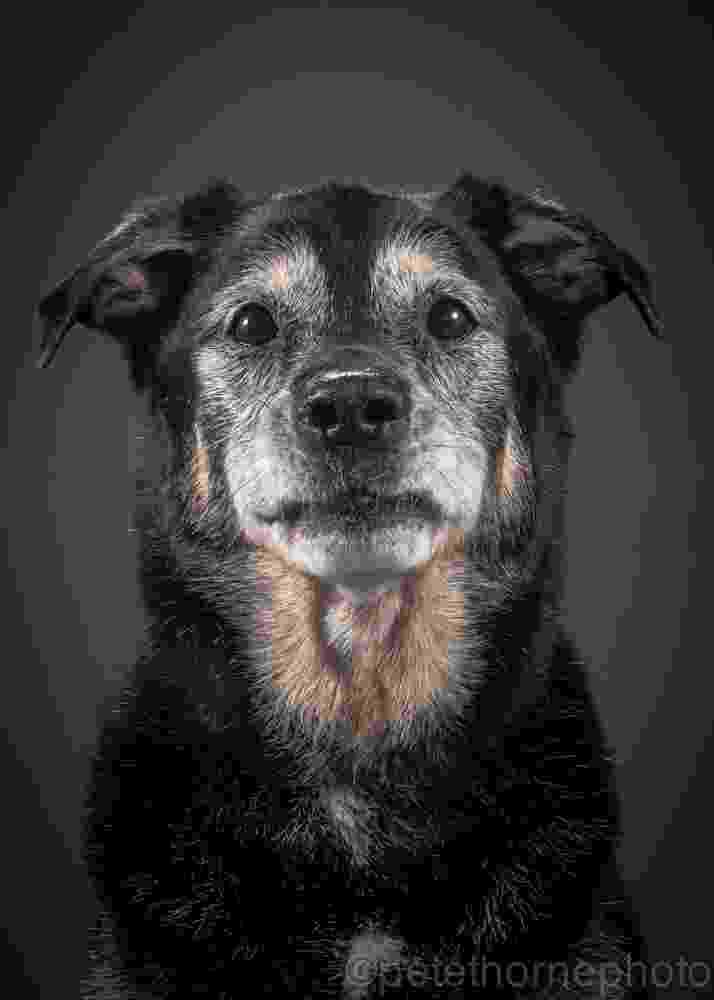 """4.nov.2014 - Jackson é um labrador preto que agora tem mais de 14 anos. Segundo o fotógrafo Pete Thorne, criador do projeto """"Velho e Fiel"""", que retrata cães bem velhinhos, """"há alguma coisa na sua expressão que nos dá a impressão de que ele é capaz de olhar para dentro da nossa alma"""" - Divulgação/Pete Thorne"""