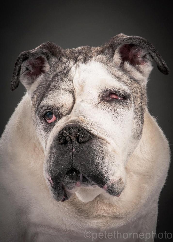 """4.nov.2014 - O fotógrafo canadense Pete Thorne levou seu projeto """"Velho e Fiel"""" até a casa onde mora Mance. Este buldogue de 13 anos de idade sofre de câncer nos ossos e está em um estado bem fragilizado. """"Por isso eu fui até lá para fazer sua foto, em todo o seu charme assimétrico"""""""