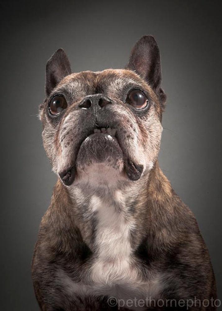 """4.nov.2014 - Spud é um pug bem velhinho que integra o projeto """"Velho e Fiel"""", do fotógrafo canadense Pete Thorne. A série traz retratos de cães """"velhos e féis"""", companheiros de humanos a quem têm dedicado carinho. O projeto deve se transformar em uma exposição de fotos ou devem ser reunidos em um livro, segundo Pete Thorne"""