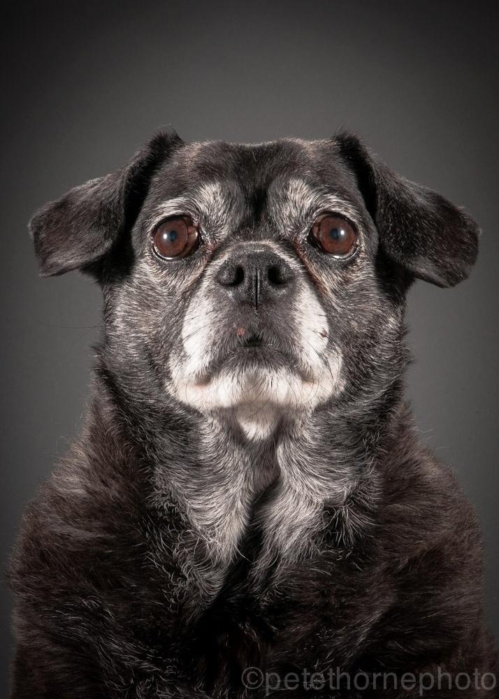 """4.nov.2014 - Weezee é uma mestiça de pug com 10 anos de idade. Alegre e carinhosa, ela apenas encarou a lente do fotógrafo canadense Pete Thorne com curiosidade na hora de ter seu retrato tirado. """"Ela se comportou muito bem e foi um dos cães mais fáceis de fotografar"""", elogia Thorne"""