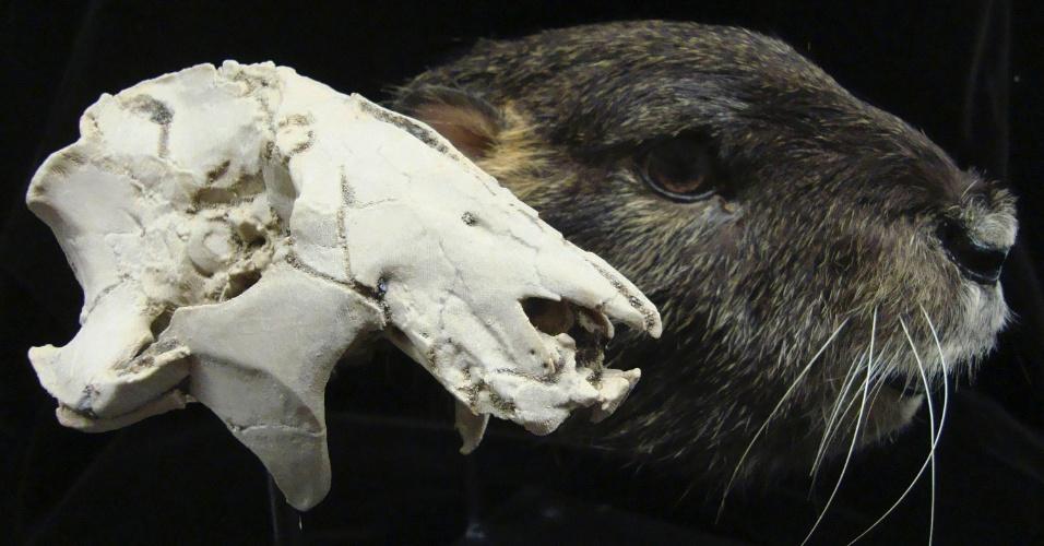 5.nov.2014 - A reprodução de um crânio de Vintana sertichi (ao fundo) com reconstrução de como seria o mamífero feita pelo Staab Studios. A Universidade Stony Brook, em Nova York, divulgou estudo sobre as características desse animal, descobertas a partir da descoberta de um crânio em Madagascar, em 2010