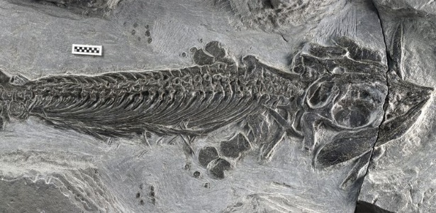 5.nov.2014 - Um fóssil recém-descoberto de um ictiossauro anfíbio, batizado de Cartorhynchus lenticarpus, mostra que essa criatura podia ficar tanto na água quanto em terra
