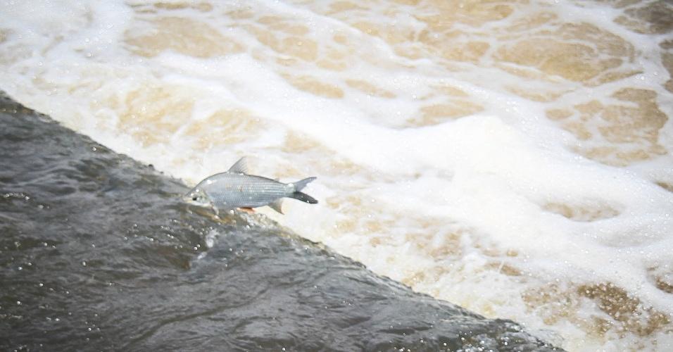 7.nov.2014 - As chuvas dos últimos dias melhoraram o nível do rio Mogi-Guaçu, aumentando o volume de água na Cachoeira de Emas, em Pirassununga, interior de São Paulo. A seca do rio já prejudicou a piracema, época de reprodução dos peixes, e poucos são vistos tentando subir o rio