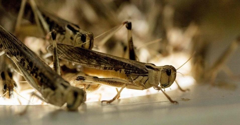 """7.nov.2014 - ORIGEM DOS INSETOS - Os primeiros insetos que habitaram a Terra se originaram há cerca de 480 milhões de anos e 80 milhões de anos depois desenvolveram sua habilidade de voar, segundo um estudo publicado na revista Science. """"Nossa pesquisa mostra que os insetos se originaram ao mesmo tempo que as primeiras plantas terrestres, há cerca de 480 milhões de anos"""", afirmou o diretor da Coleção Nacional Australiana de Insetos da CSIRO, David Yeates, em comunicado da organização. A imagem de arquivo mostra gafanhotos em Portugal"""