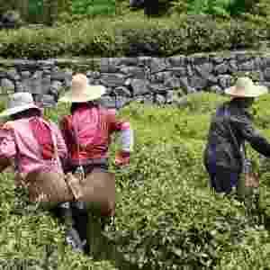 Produção de chás artesanais na China, importados para o Brasil pela empresa Chá Yê, dos empresários João Campos e Caio Barbosa - Divulgação