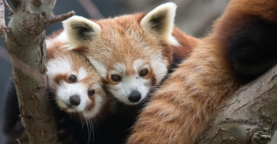 13.nov.2014 - Filhote de panda vermelho  acompanha a mãe por árvore do zoológico de Bratislava, na Eslováquia