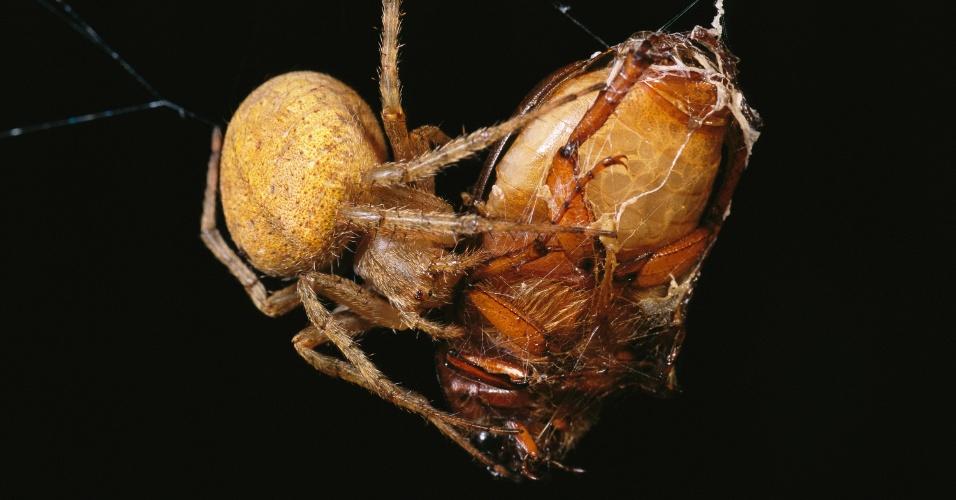 Aranha envolve um besouro em sua teia. Esse drama em miniatura aconteceu na República de Palau, composta por oito ilhas grandes e 250 ilhas menores