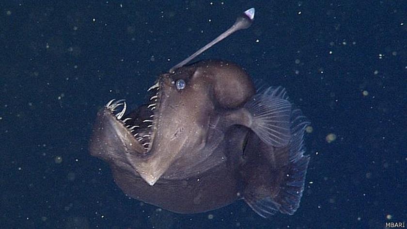 25.nov.2014 - Um exemplar de peixe-diabo negro, o Melanocetus johnsonii, de aproximadamente nove centímetros foi filmado a uma profundidade de 600 metros no cânion submarino de Monterrey, na Califórnia