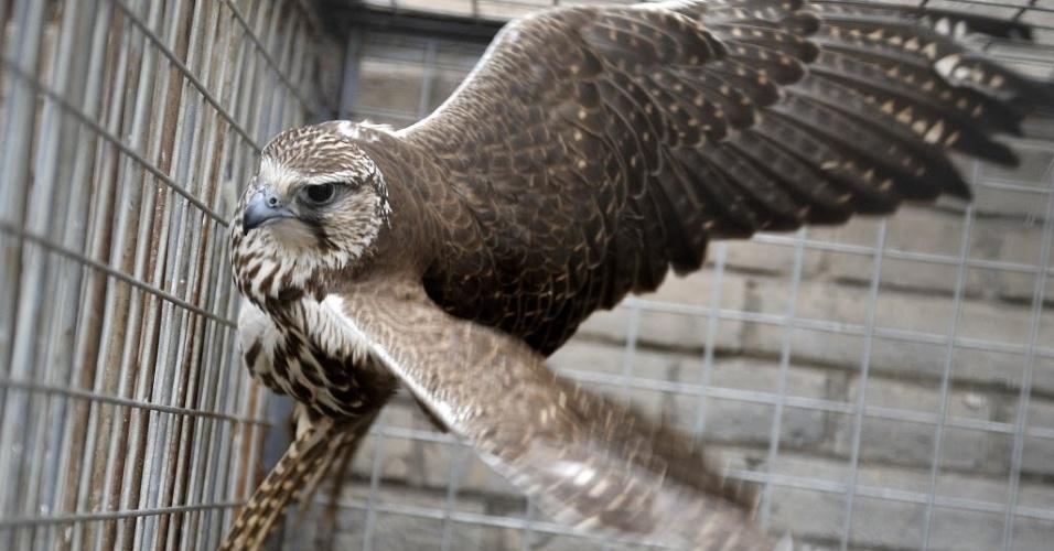 26.nov.2014 - Um falcão apreendido em uma opção contra tráfico ilegal de animais é colocado em uma gaiola de proteção em Zhongshan, noroeste da China.  A polícia local de Ningxia encontrou 24 animais raros incluindo cotovias, gaviões e falcões