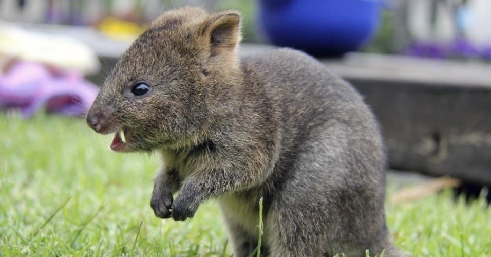 28.nov.2014 - Um filhote de quokka, um marsupial que vive na Austrália, de apenas seis meses come uma folha no zoológico Taronga em Sydney, na Australia, nesta sexta-feira (28)