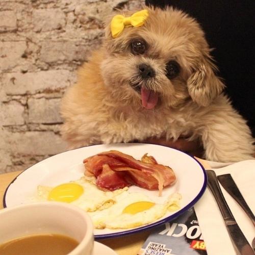 30.nov.2014 - A cachorrinha Shih Tzu Mernie é fotografada por sua dona em situações rotineiras, como num típico café da manhã norte-americano com bacon e ovos. Adotada em 2012, Mernie tem a cabeça inclinada para a direita devido a uma síndrome vascular que a atingiu antes da adoção