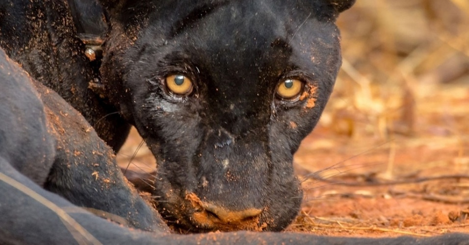 4.dez.2014 - Onça-preta (Panthera onca), variação da onça-pintada, foi capturada pela primeira vez dentro do Parque Nacional Serra da Capivara, região sudeste do Piauí. A ação ocorreu em novembro, mas só foi divulgada esta semana pelo ICMBio (Instituto Chico Mendes de Conservação da Biodiversidade). Pesquisadores colocaram um colar com GPS no pescoço do animal para monitorar o território de vida e os hábitos das onças-pretas. O animal está ameaçado de extinção