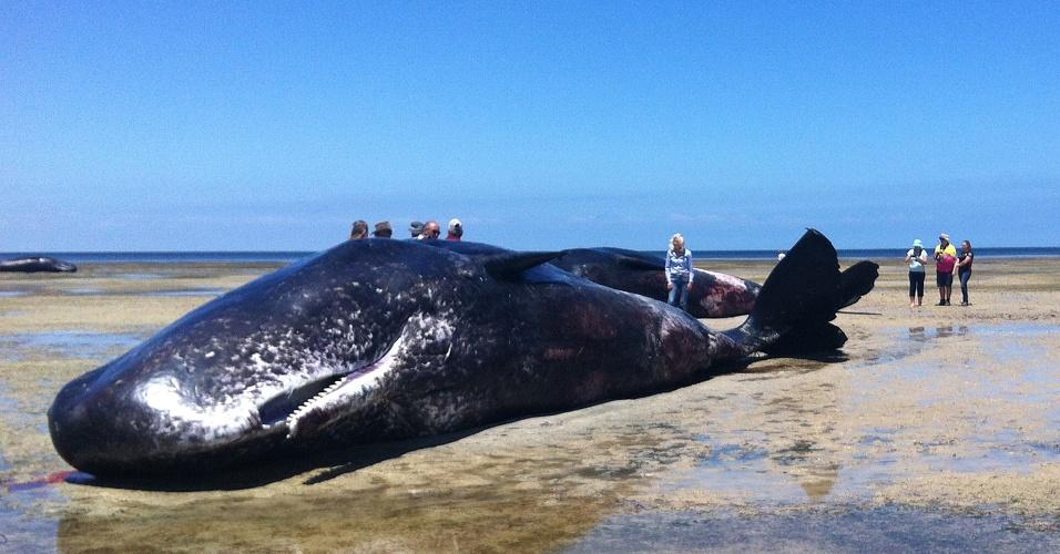 8.dez.2014 - Seis baleias cachalotes foram encontradas mortas em uma praia no sul da Austrália nesta segunda-feira (8). Os animais que podem chegar a pesar 50 toneladas, foram encontrados na praia de Parara, a cerca de 150 quilômetros de Adelaide. Há relatos, no entanto, de que outros animais teriam sido vistos encalhados. As autoridades ambientais ainda não sabem explicar o motivo do encalhe dos cachalotes