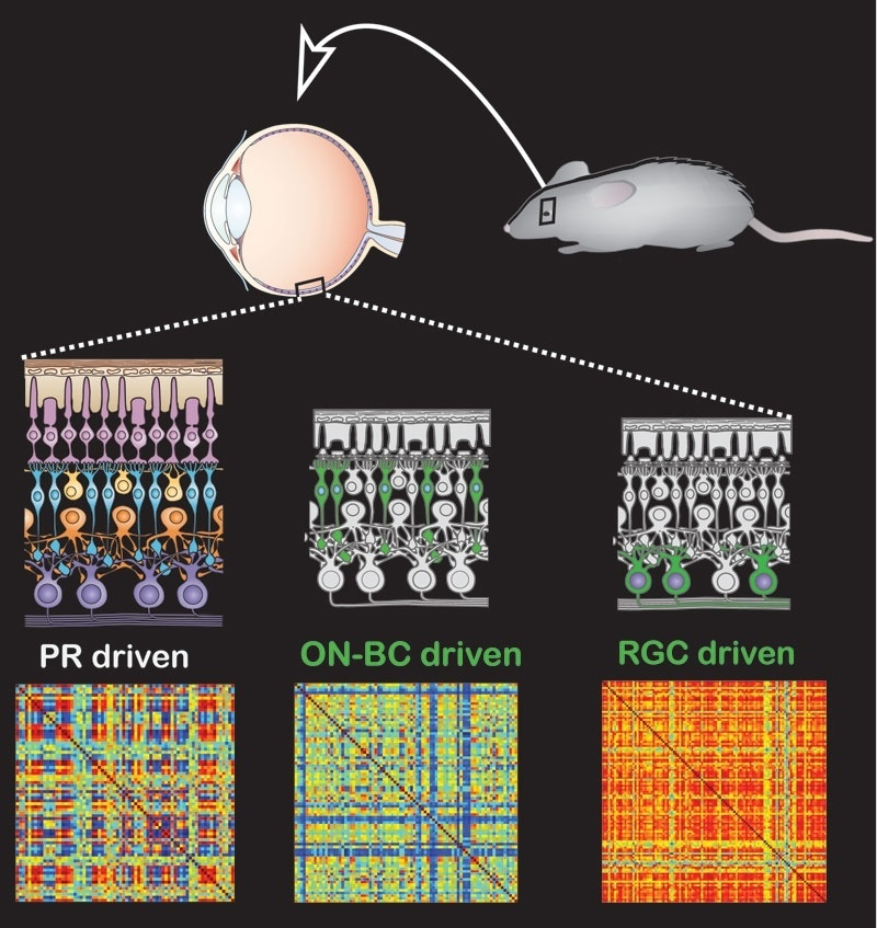 9.dez.2014 - Estudo da Universidade da Califórnia, nos EUA, cria nova terapia genética que faz ratos cegos desenvolverem sensibilidade à luz. Os animais conseguiram distinguir flashes da escuridão. O tratamento também restaurou a resposta de luz para retinas de cães que não enxergavam. O método utiliza um vírus para inserir um gene no canal das células cegas da retina, aquelas que sobrevivem depois que as células fotorreceptoras (sensíveis a luz) morreram
