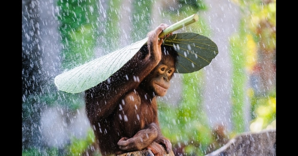 BBC - 10.dez.2014 - Com apenas um mês para o fim do prazo para entrega de fotos para o prêmio internacional Sony World Photography Awards 2015, a Organização Mundial de Fotografia revelou uma seleção de imagens enviadas até o momento. Esta imagem, de um orangotango se protegendo da chuva, foi enviada por Andrew Suryono e concorre na categoria 'Vida Selvagem'