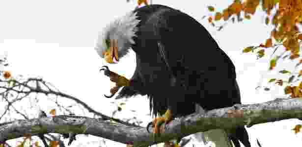 Águia careca estica suas garras, em um santuário de proteção à espécie no Alasca (EUA) - Bob Strong/Reuters