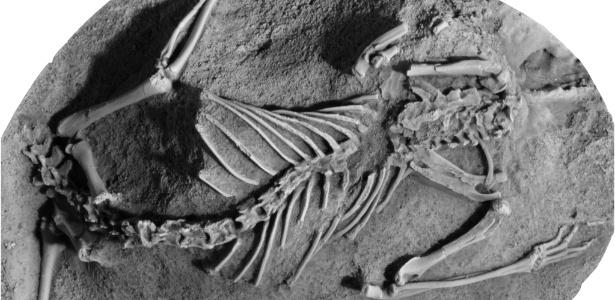 Fósseis de Asiatherium reshetovi, uma das espécies dos metatherianos, que viveram na Terra durante o Cretáceo - Thomas Williamson/Divulgação