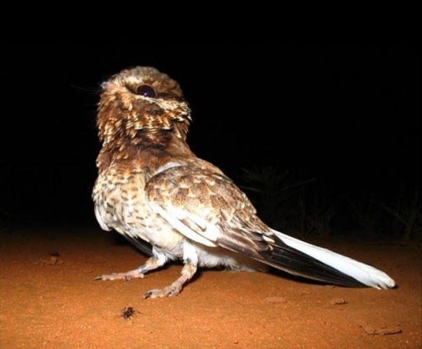 A ave bacurau-de-rabo-branco passou de espécie em perigo de extinção para vulnerável, isto é, diminuindo o perigo de extinção, mas não o alerta. Há registro atual de presença da ave apenas no Parna de Emas, no Estado de Goiás