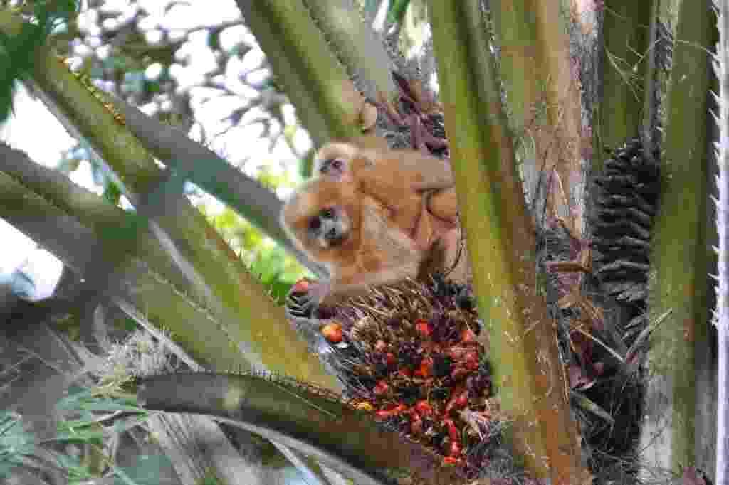 Macaco-prego-galego, espécie cujo habitat (mata atlântica nordestina) sofreu grande redução já a partir do século 17 está sob ameaça de extinção no Brasil - Wikipedia