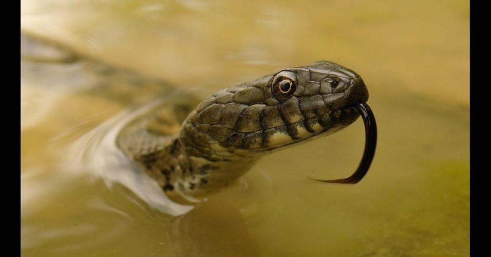 29.dez.2014 - A imagem de uma cobra se elevando da água de uma lagoa na Romênia, para respirar, foi feita por Silviu Petrovan. Ele venceu na categoria Organismos Completos e Populações