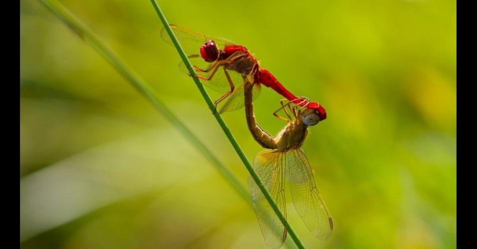 29.dez.2014 - Flagrados durante o acasalamento, um ato que dura apenas alguns segundos, estas libélulas fotografadas por Karine Monceau, venceram na categoria Ecossistemas e Comunidades