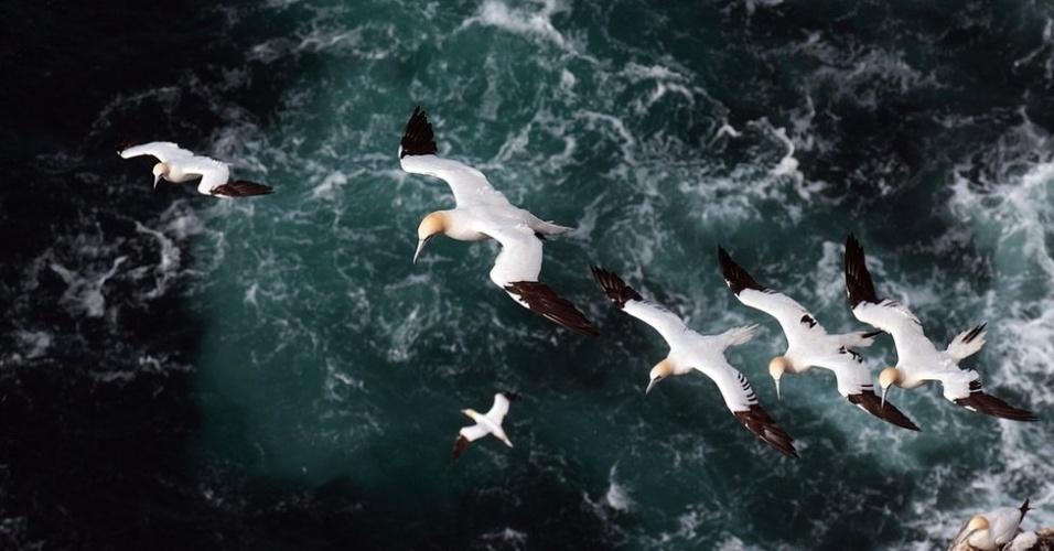 29.dez.2014 - Um ganso-patola adulto conduz três filhotes em uma corrente de ar nos penhascos de Hermaness, o ponto mais ao norte das ilhas britânicas, nesta foto de Leejiah Dorward