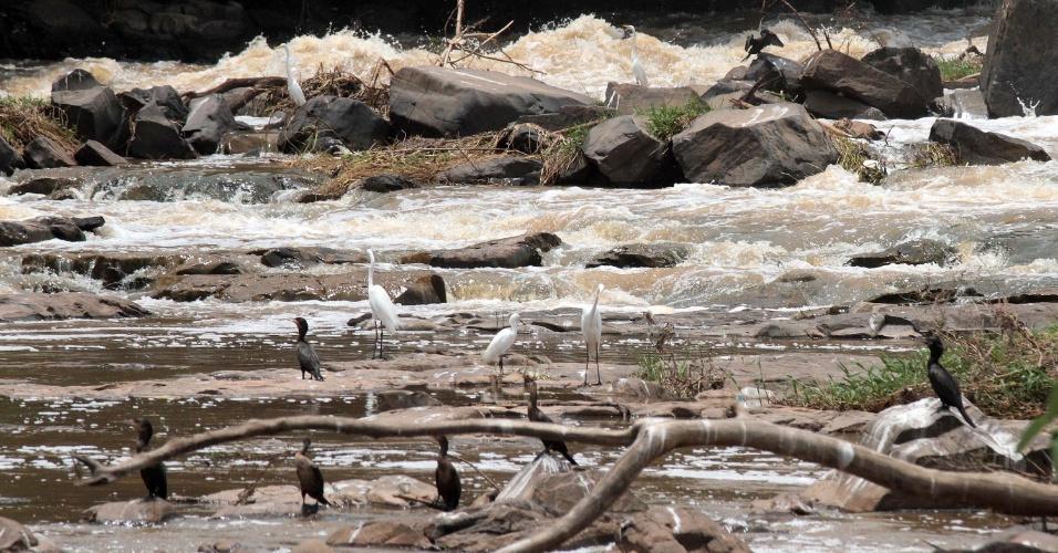 2.jan.2015 - Aves observam a migração dos peixes que sobem o rio Piracicaba, na cidade de Piracicaba, interior de São Paulo, para desova. O fenômeno da piracema já é possível com os atuais níveis do manancial
