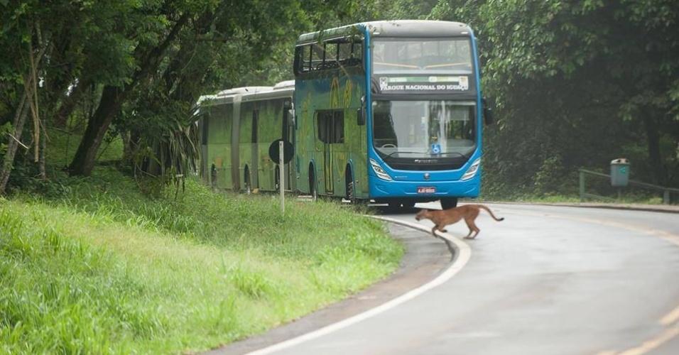3.jan.2015 - A visita às Cataratas do Iguaçu foi interrompida por duas horas neste sábado (3) porque uma onça parda cruzou a rodovia que dá acesso às quedas