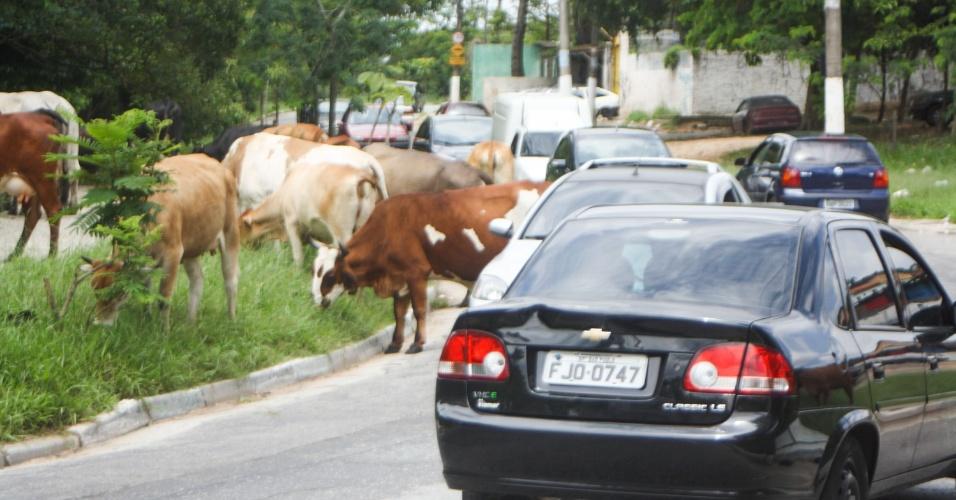 5.jan.2015 - Um rebanho de vacas interrompeu o trânsito ao invadir a estrada do Alvarenga, na zona sul da capital paulista, nesta segunda-feira (5)