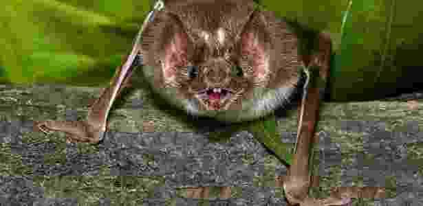 Morcego - Reprodução - Reprodução