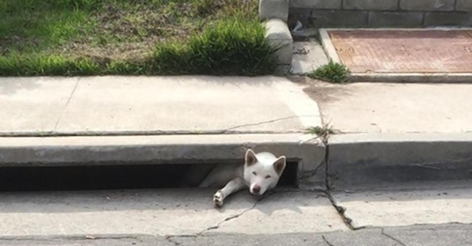 12.jan.2015 - A husky siberiana Bella, de 1 ano, se meteu em uma grande enrascada: ficou entalada em um bueiro na Califórnia (EUA). Mas, para sua sorte, um pedestre viu a cadela encrencada e ligou para o Resgate de Animais do Condado de San Diego. Quando os socorristas chegaram, ela se assustou e caiu dentro do buraco. A tampa do bueiro foi retirada e a grade embaixo da cadela içada. O animal não teve ferimentos
