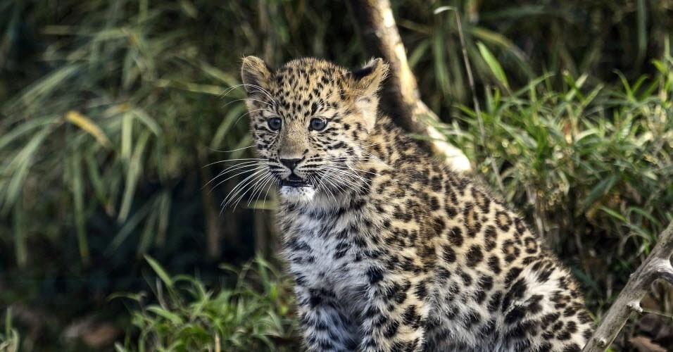 A 5ª colocação é ocupada pelo leopardo-de-amur, uma subespécie extremamente rara, com cerca de 20 adultos e seis filhotes na natureza. Embora esses animais já tenham rondado pelo leste da China e da Coreia, agora estão limitados à Primorye, na Rússia, onde enfrentam uma série de ameaças, incluindo a caça por suas peles, perda de habitat, tráfego rodoviário e mudanças climáticas. Sua minúscula população ainda está em declínio, de acordo com a IUCN, e tem a mais baixa diversidade genética de todas as subespécies de leopardos