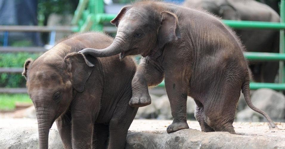 Lista de elefantes enlace adulto