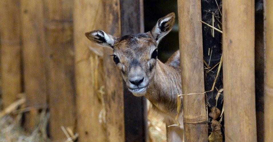 23.jan.2015 - Um filhote de antílope-indiano (Antilope cervicapra) explora jaula do zoológico de Budapeste, na Hungria, nesta sexta-feira (23). O jovem animal nasceu em 6 de janeiro e será apresentado para o público na próxima semana