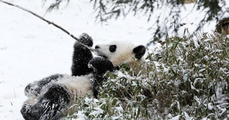 27.jan.2015 - Filhote da panda Bao Bao mastiga um bambu enquanto relaxa na neve, no zoológico nacional Smithsonian, em Washington, nesta terça-feira. Milhões de americanos foram afetados ao longo da costa nordeste dos Estados Unidos após uma tempestade de neve paralisar Nova York e outras grandes cidades
