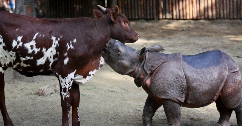 Moo Moo Kitty, um bezerro, e Chutti, um rinoceronte de um chifre, nasceram em novembro de 2014 no San Diego Zoo Safari Park, em Escondido, na Califórnia, e são 'amigos' desde então