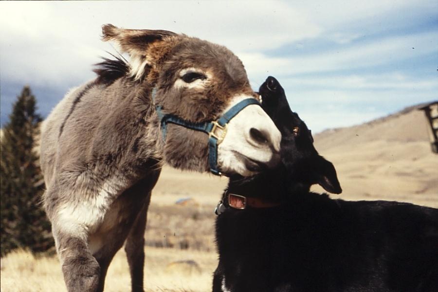 Safi, uma mestiça de pastor alemão de 36 kg, fez 'amizade' com um burro chamado Wister em um rancho no Wyoming nos anos 90