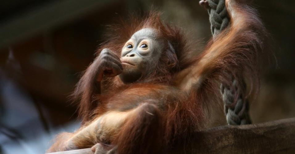 28.jan.2015 - A filhote de orangotango Surya é fotografada no zoológico de Rostock, na Alemanha, nesta quarta-feira (28). Ela nasceu em 28 de junho de 2013, no próprio zoológico