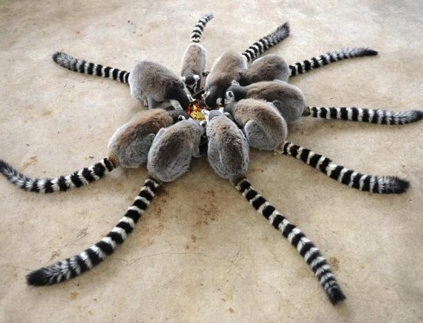 28.jan.2015 - Será uma aranha? Ou seria uma flor? Na verdade, são lêmures comendo