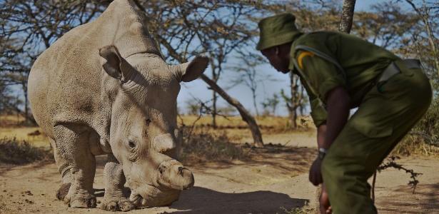 Para evitar extinção, cientistas vão guardar óvulos das últimas fêmeas de rinoceronte branco