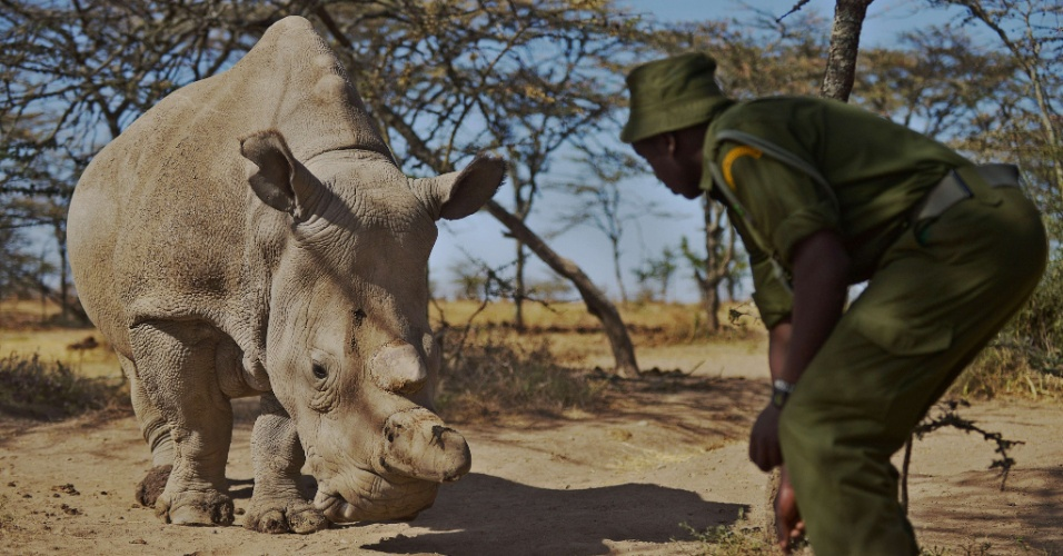 28.jan.2015 - Um guarda florestal aproxima-se de uma fêmea de rinoceronte branco chamada Najin no parque Ol Pejeta Conservancy, cerca de 290 quilômetros ao norte da capital do Quênia. Najin está entre os cinco remanescentes dessa subespécie existentes no planeta. Três rinocerontes brancos vivem no parque Ol Pejeta Conservancy. Cientistas e pesquisadores da vida animal reuniram-se esta semana no Quênia para tentar traçar uma estratégia para salvar os rinocerontes brancos da extinção
