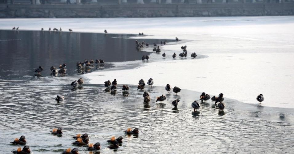 29.jan.2015 - Patos-mandarim descansam e nadam em um lago parcialmente congelado no parque Beihai, em Pequim, na China