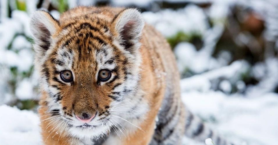 1º.fev.2015 - Filhote de tigre siberiano Dragan caminha pele neve no zoológico de Eberswalde, Alemanha. Dragan nasceu no dia 7 de outubro de 2014