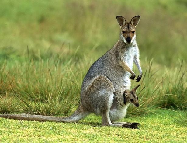 Canguru e seu filhote: cadê o umbigo? - AFP