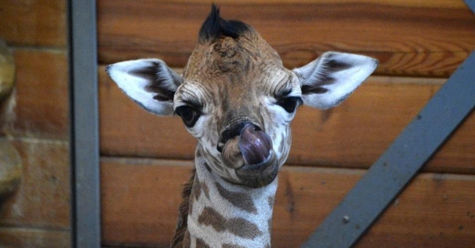 6.fev.2015 - Filhote de girafa Ikinya, de apenas seis dias, é fotografada em seu espaço no zoológico de Budapeste, na Hungria, nesta sexta-feira (6). A pequena girafa nasceu em 31 de janeiro. A mãe Ingrid tem sete anos de idade