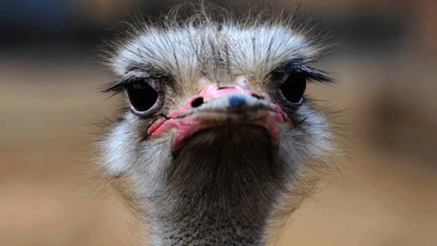 Zoológico na Cisjordânia registrou aumento na população de avestruz durante pandemia - AFP